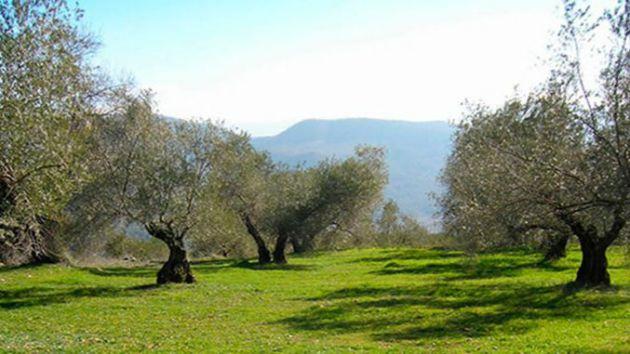 Unión de Uniones prevé que la producción de aceite de oliva descienda un 14,8% esta campaña