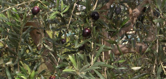 La Unió prevé un descenso de la producción de aceite de oliva en la Comunidad Valenciana del 43%