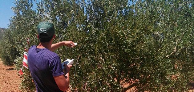 AdaptaOlive predice cómo afectará al olivar el cambio climático