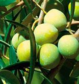 La calidad del aceite, condicionada por el diseño del olivar