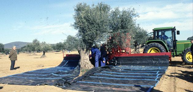 Nueva convocatoria de ayudas a la modernización del olivar en Extremadura