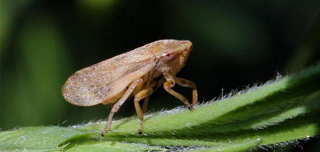 Un estudio sobre un vector sienta las bases para investigar la transmisión de la Xylella fastidiosa