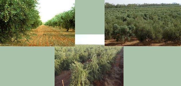 ¿Dónde se ubican las 10 fincas de olivar más grandes del planeta?