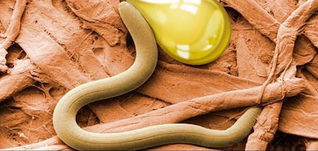 Los ácidos grasos monoinsaturados presentes en el aceite de oliva alargan la vida de los gusanos