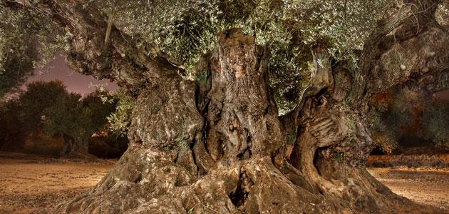El Olivo de Sinfo, mejor olivo monumental de España