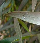 Interóleo Picual Jaén reclama más inversión para luchar contra la mosca del olivo