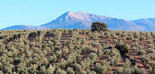 El MAPA encomienda a la UCO la identificación varietal de olivo para el Registro de Variedades Vegetales