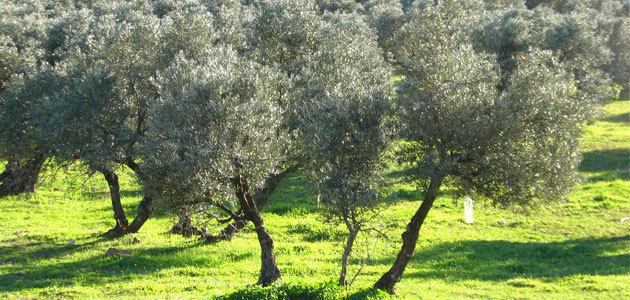 Andalucía alberga la mayor superficie de olivar ecológico