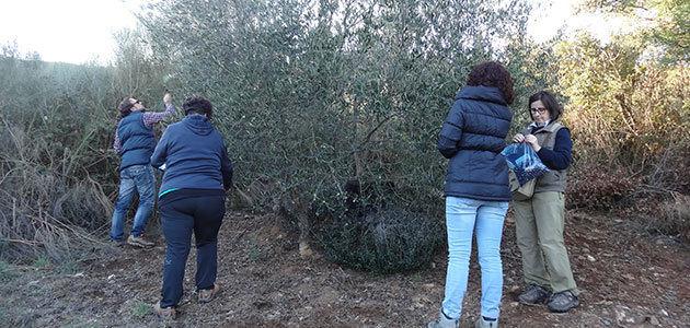 Un estudio acredita el potencial y la alta calidad de los aceites de oliva de dos nuevas variedades gallegas