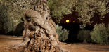La nueva PAC contempla una asignación de 30 millones anuales al sector del olivar tradicional