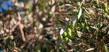 Bruselas prevé un stock final de campaña de 603.113 t. de aceite de oliva en la UE
