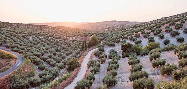 Sostenibilidad, rentabilidad y digitalización: claves para el futuro del sector del aceite de oliva