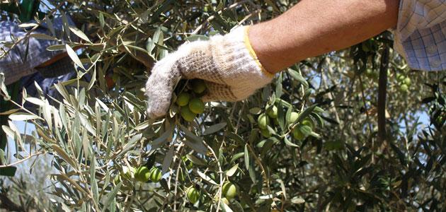 La producción de aceituna de mesa alcanza las 441.830 toneladas en Andalucía
