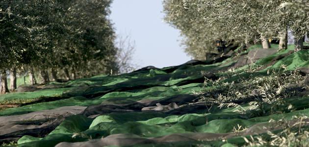 La producción de aceite de oliva en enero fue de 518.200 t., la más alta de las últimas campañas