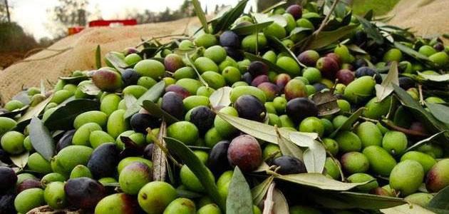 Cae un 30% la producción oleícola en Toscana