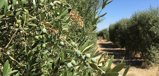 Una herramienta consigue disminuir el riego de los olivos en más de un 20%