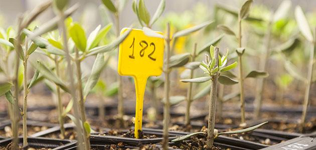La Rioja pone en marcha una campaña para recuperar variedades de olivo