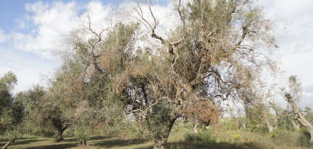 El sector pide unidad y cautela ante el primer positivo de Xylella en olivar en Madrid