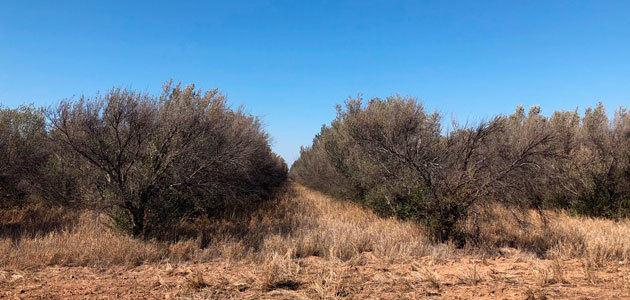 Ralentización de la olivicultura internacional