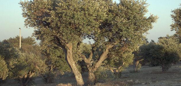 Una investigación estudia el uso de agua en el olivo en condiciones de frío