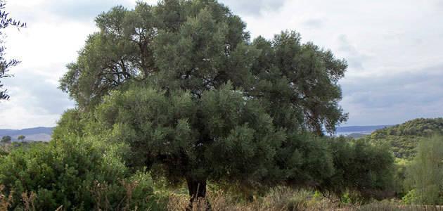 Constatan que el olivo silvestre prefiere el polen lejano para su reproducción