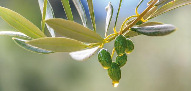 AEMO prevé una producción de entre 950.000 y 1.150.000 t. de aceite de oliva para la campaña 2017/18