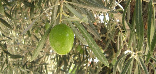La producción europea de aceite de oliva se sitúa en 2,23 millones de t. hasta marzo