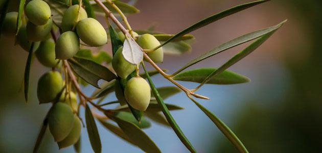 La producción europea de aceite de oliva se sitúa en 1,89 millones de toneladas hasta abril