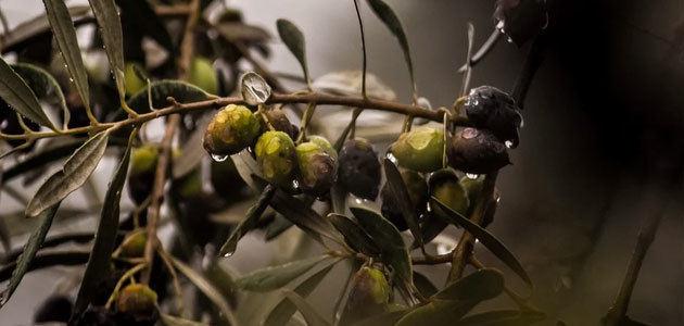 Agroseguro abonará 6,8 millones de euros en indemnizaciones en el olivar
