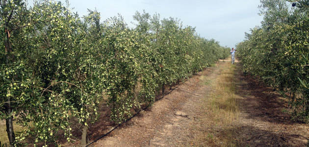 Todolivo aplica su sistema de olivar en seto al verdeo