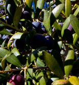 Deoleo prevé que la producción de aceite de oliva se incremente un 67% esta campaña