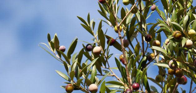 La CE prevé que la producción europea de aceite de oliva se incremente un 2% en la campaña 2018/19
