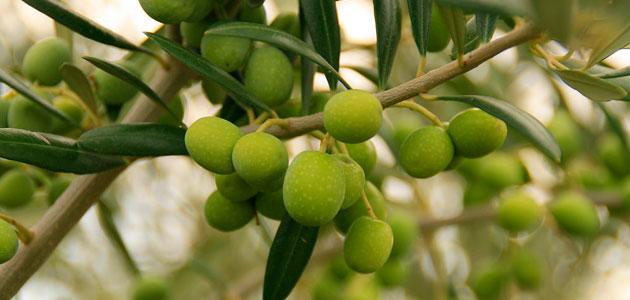 El USDA espera que la producción mundial de aceite de oliva alcance 3,12 millones de t. en la próxima campaña