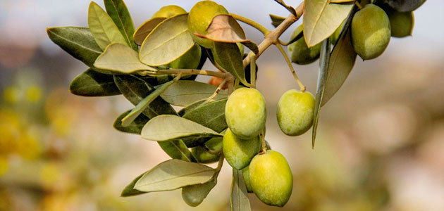 La CE sitúa la producción europea de aceite de oliva en 2,26 millones t. esta campaña, un 3,7% más