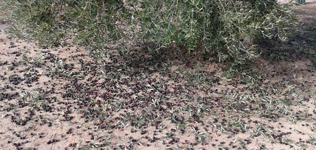 Las hectáreas aseguradas de olivar en el Plan 2020 aumentan un 21,96%