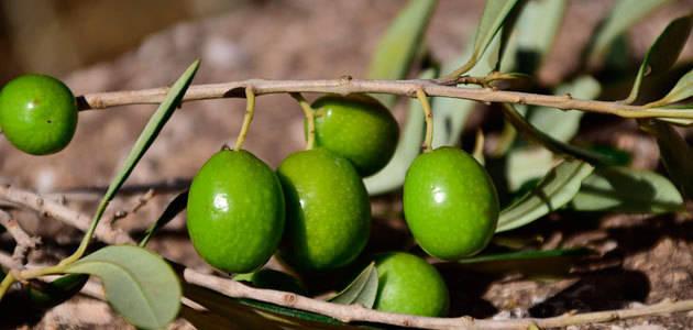 La producción europea de aceite de oliva se sitúa en 1,71 millones de t. hasta marzo