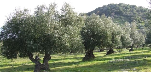 Andalucía estima que su producción de aceite de oliva aumentará un 40% esta campaña