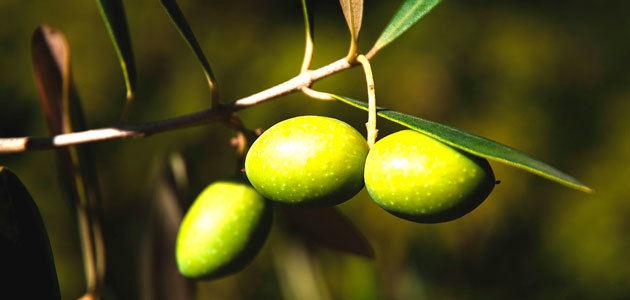 Andalucía prevé que su producción de aceite de oliva aumente un 50,2% esta campaña