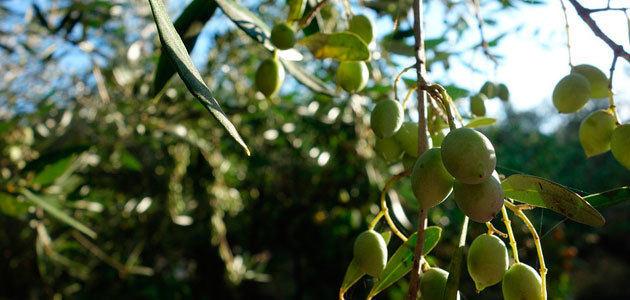 La producción mundial de aceite de oliva aumentará un 2% en la próxima campaña, según el aforo de GEA
