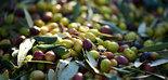 Las plantas de tratamiento postcosecha de aceituna contribuyen a conservar la calidad del fruto