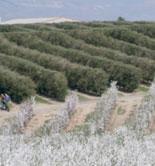 Sevilla acoge este viernes una jornada sobre la mecanización total del olivar