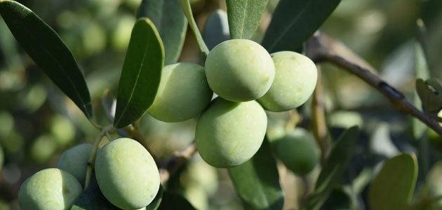 La producción asegurada en el olivar cayó un 16% en 2020