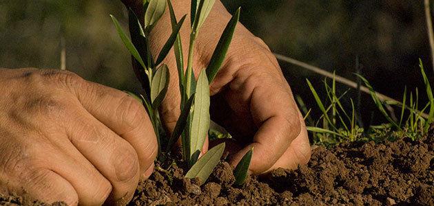 ¿Cuáles son las mejores opciones para diversificar el cultivo del olivar?