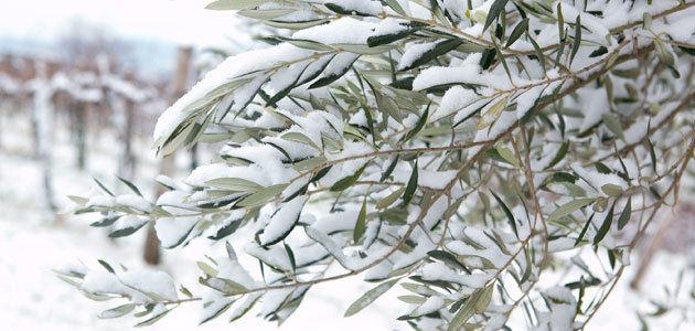 El acceso al seguro de olivar será más sencillo a partir del Plan 2021