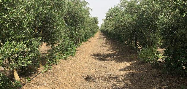 El Alentejo portugués, referencia internacional para la nueva olivicultura mundial