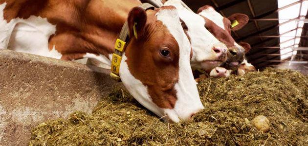 Suplementos de aceite de oliva para el ganado mejoran el sabor y la calidad de los lácteos