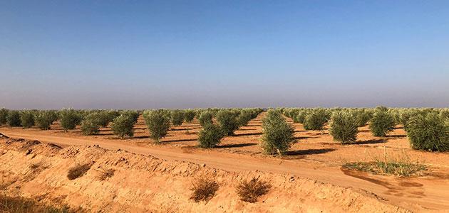 Al Jouf, la explotación de olivar moderno más grande del mundo