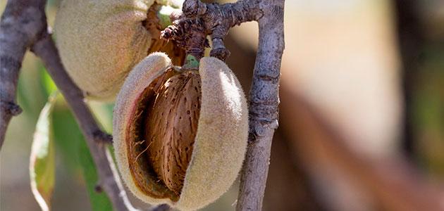 Productos fitosanitarios con piretrinas, autorizados para luchar contra la Xylella fastidiosa