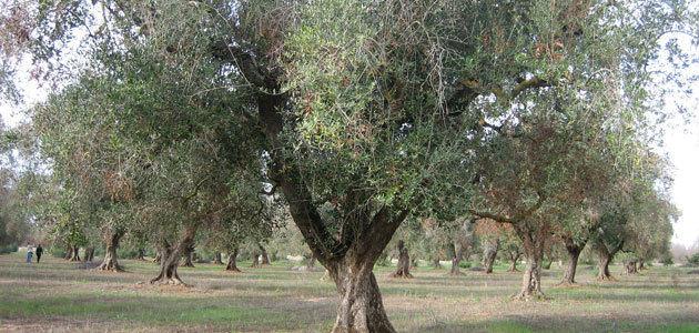 La Junta confirma la erradicación de la Xylella fastidiosa en Andalucía