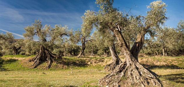 El proyecto Apadrina Un Olivo ha recuperado más de 7.000 olivos del olivar centenario de Oliete (Teruel)